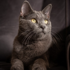 grey-cat-photo-indoors-melbourne