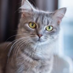 grey-tabby-cat-indoor-photo-melbourne