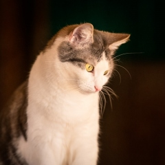 grey-white-cat-indoor-photo