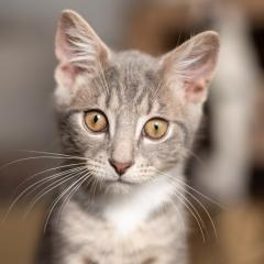 kitten-cat-tabby-photo-cute-grey