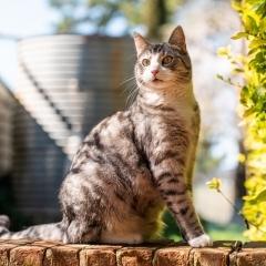 tabby-cat-outdoor-photo-melbourne-alert