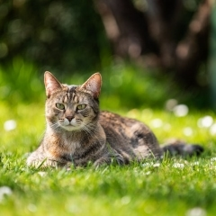 tabby-cat-outdoor-photo-melbourne-sitting-grass