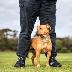 dog-park-standing-staffy-cross-photo-owner