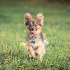 tiny-dog-running-photo