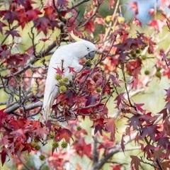 wild-bird-cockatoo-autumn
