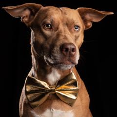 gold-bowtie-dog-studio-photo-staffy-cross